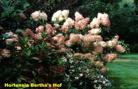 Hydrangea Paniculata Phantom 5200 by Pluimvormige Hortensia S Archives Hortensia Bertha S Hof