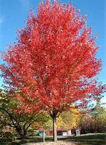 maple tree vs autumn blaze weilbacher landscaping plants
