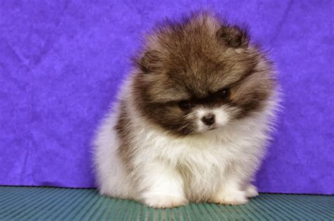 pomeranian puppies free pomeranian mix puppies 35 free wallpaper dogbreedswallpapers