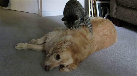 golden retriever and cat shi quot cat quot su for a golden retriever