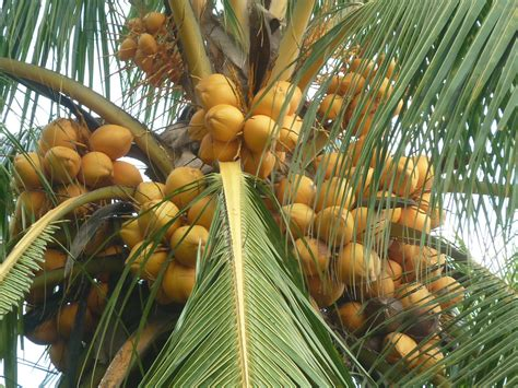 Jual Bibit Kelapa Hibrida Di Karawang jual bibit kelapa hibrida jual bibit tanaman dan jasa