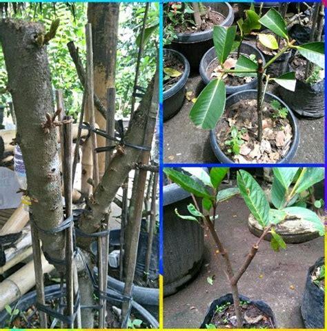 Nature Stek Pohon jual nature stek akar batang hp wa 0813 6283 3212 rp