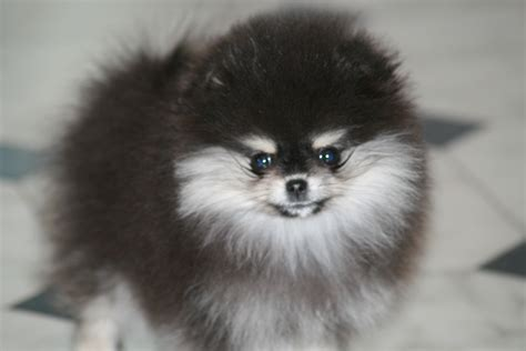 pomeranian black and brown black and white pomeranian puppy brown breeds picture