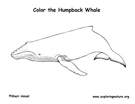 whale humpback coloring page