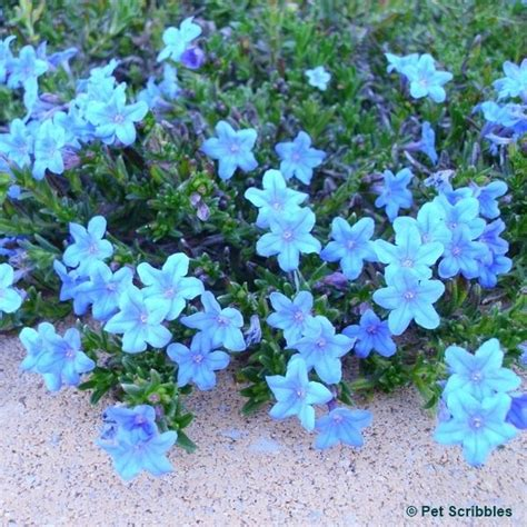 evergreen shrubs with blue flowers lithodora evergreen perennial with electric blue flowers