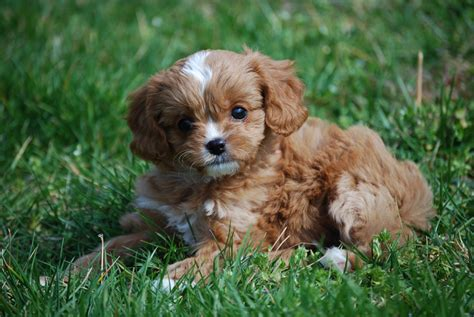 cavapoo puppies tennessee cavapoos cavapoo puppies for sale in tennessee precious pups 4 u