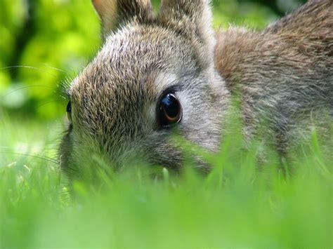 rabbit manure in the garden vegetable gardener