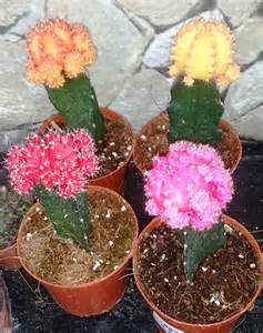 file grafted cactus jpg wikimedia commons