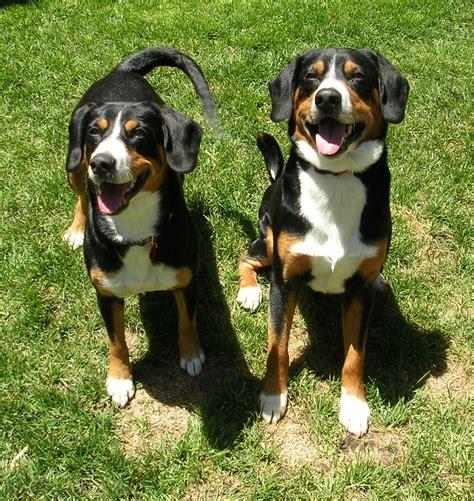 entlebucher mountain puppies friendly entlebucher mountain dogs photo and wallpaper beautiful friendly entlebucher