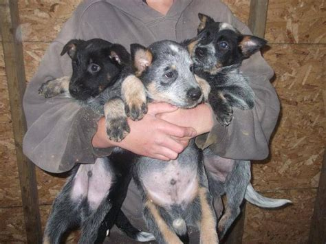 blue heeler puppy pictures all list of different dogs breeds blue heeler puppy pictures