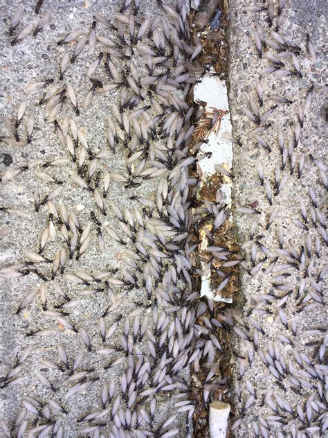 interesting facts  termites rest easy pest control