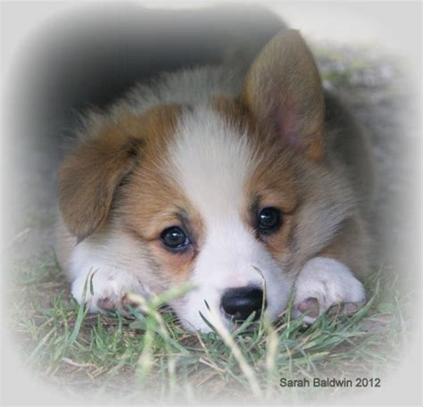 corgi puppies for sale los angeles best 25 corgi puppies for sale ideas on corgis for sale small puppies