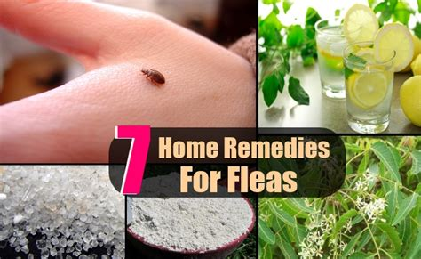 7 fleas home remedies treatments cures search