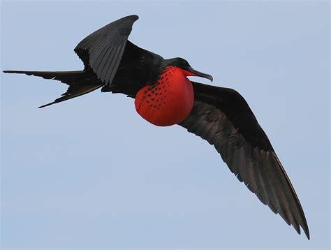 Frigatebird | WW2 Research Inc