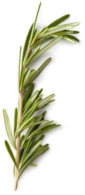 Minyak Esensial Rosemary 10 minyak essensial tentangibu