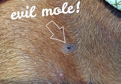 moles on dogs should you be worried about skin cancer on your ammo the dachshund