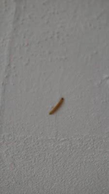 small worms in kitchen yellow worms are indian meal moth larvae all