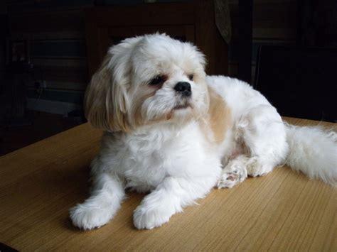 shih tzu pedigree proven pedigree shih tzu looking for stirling stirlingshire pets4homes