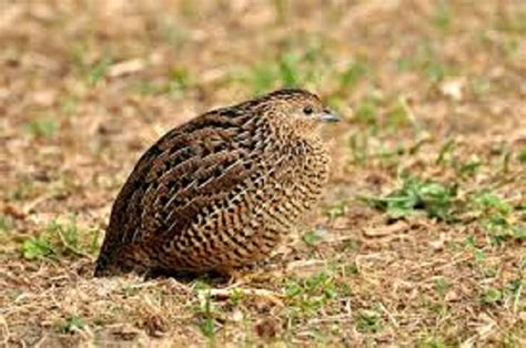 bulawayo embraces quail bird production the chronicle