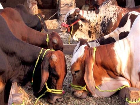 slaughter house two slaughter houses sealed in lahore 320 kg meat seized