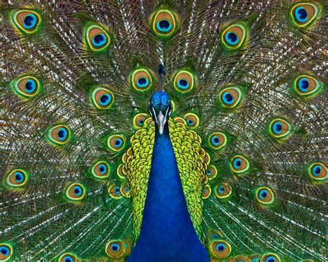 structural coloration peacock structural coloration 4243352 1000x800 all for