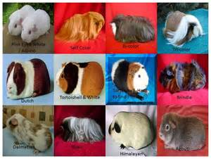 guinea pig colors best photos of guinea pig types and colors different