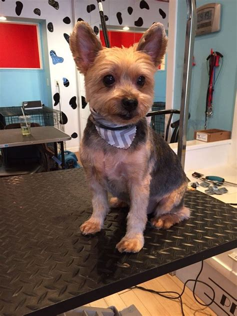 how to cut a yorkie s hair at home just 4 dogs orlando fl united states short yorkie cut