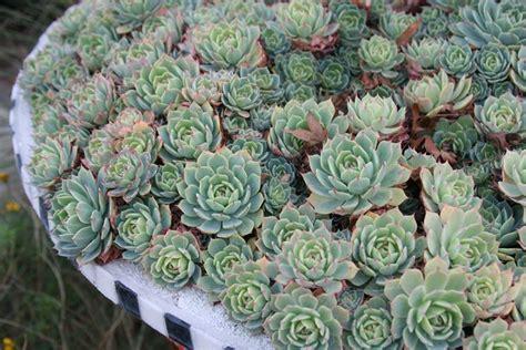 alberi da giardino resistenti al freddo piante grasse resistenti al freddo piante grasse