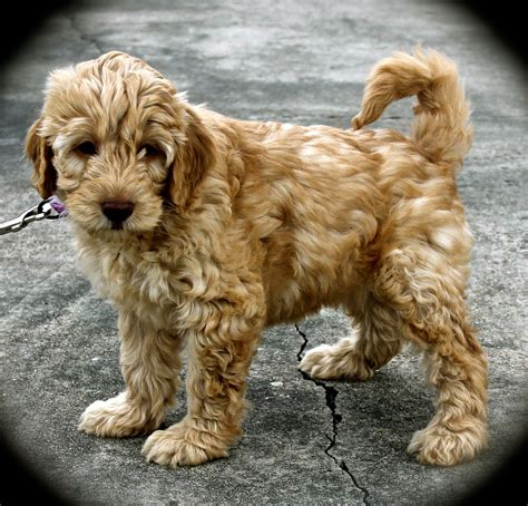 labradoodles puppies for sale sydney ruby australian labradoodle puppy for sale picture photo