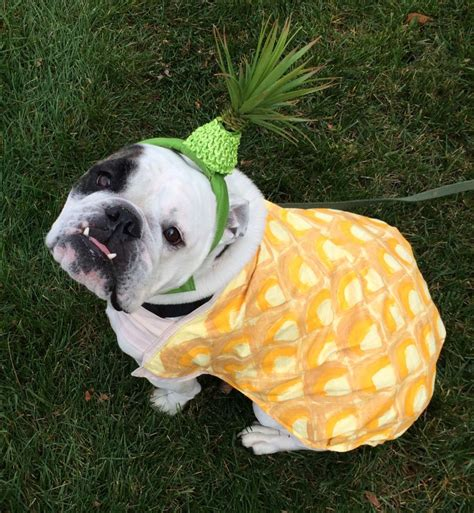 pineapple for dogs adorable pineapple bulldog costume tropical cuteness costume yeti