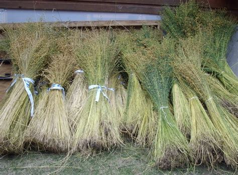 Pictures Of Stalks Of Flax