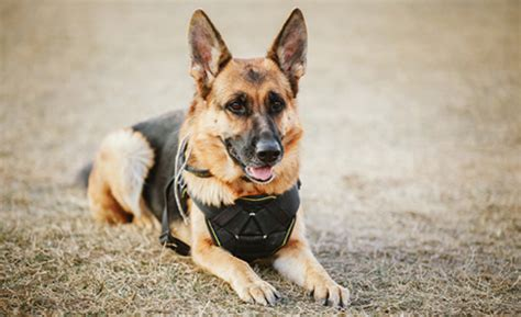 how to register your as a service animal register your pet as a service animal certifypets certifypets