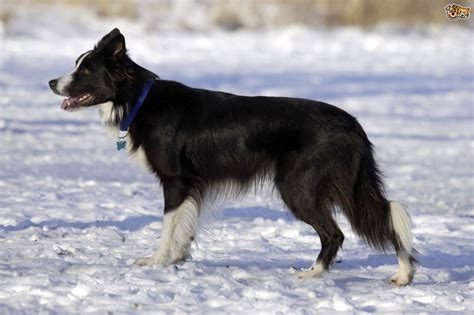 collie puppy pictures border collie breed information buying advice photos and facts pets4homes