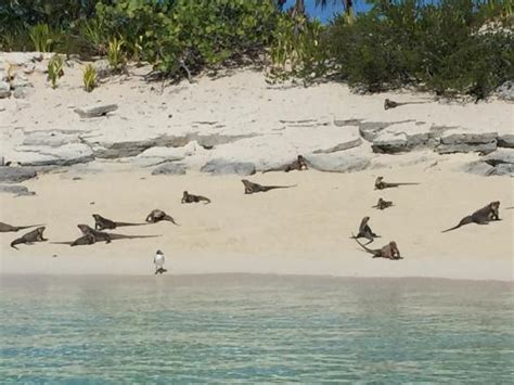 iguana island pigs picture of exuma water tours great exuma tripadvisor