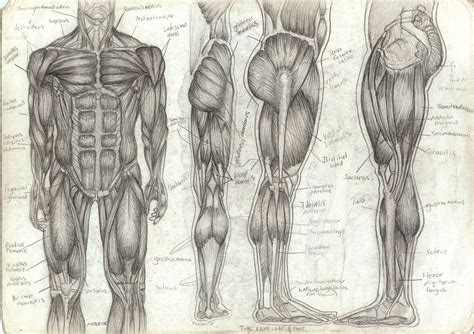 Drawing Anatomy by Human Anatomy Sketch
