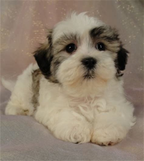 shih tzu and a bichon frise more about the zuchon the shih tzu bichon frise mix soft and fluffy