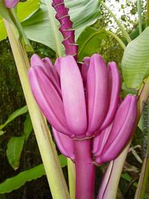 Best Windowsill Plants 4 Royal Purple Banana Trees Kens Nursery