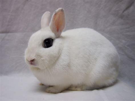 Iring Hk Bunny hong kong rabbit society