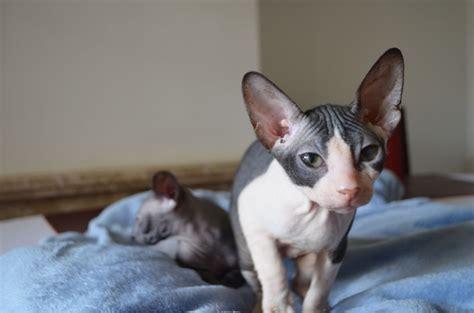sphynx cats for sale sphynx kittens for sale dagenham essex pets4homes
