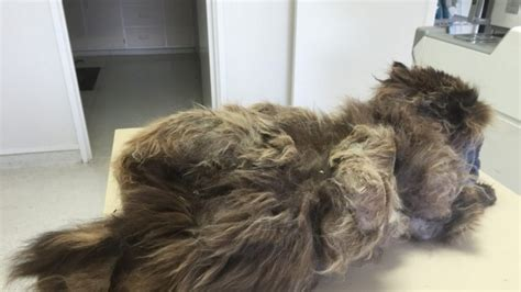 Cat Hair Matting by Shrek S Rescue Matted Cat Gets Help With Cats