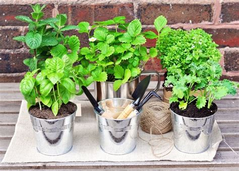 erbe aromatiche in casa piante aromatiche in casa orto coltivare piante