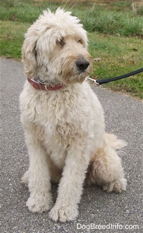 labradoodle vs golden retriever goldendoodle breed pictures 4