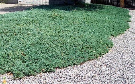 blue rug juniper is a low lying creeping juniper shrub