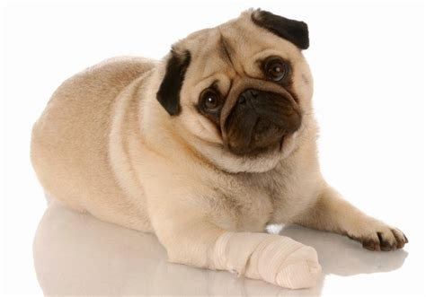 Bloody Stool For Dogs by Treating A Pet S Wound Thriftyfun