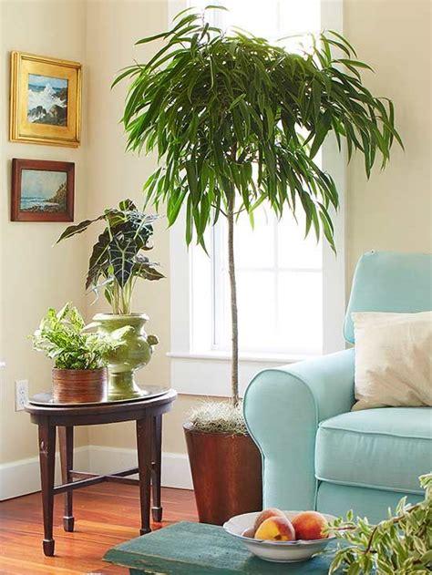 indoor trees  spruce   space indoor plants