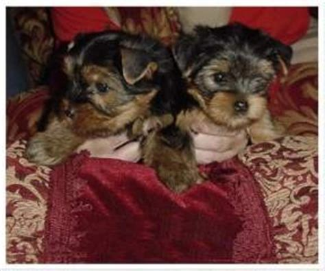 free puppies in asheville nc pets asheville nc free classified ads