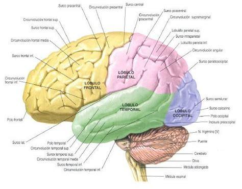 imagenes visuales para el cerebro resultado de imagen para dibujo cerebro partes neuro