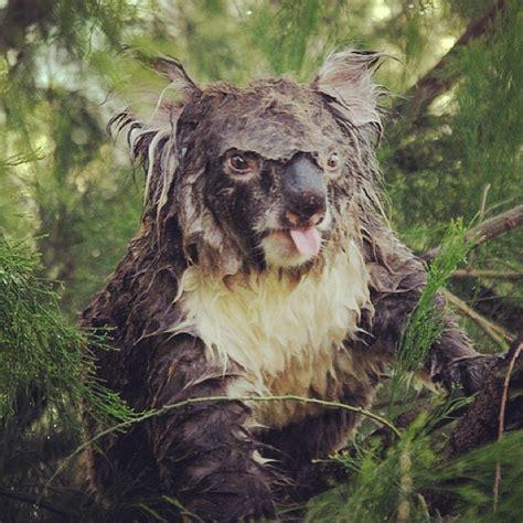 angry koala ha a u s t r a l i a koalas - Koala Hängematte
