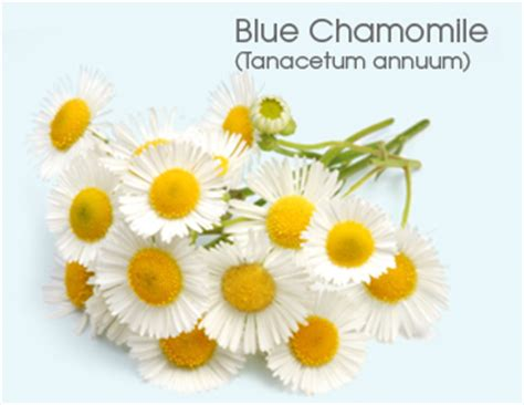 Blus Chamomile moroccan blue chamomile information is better