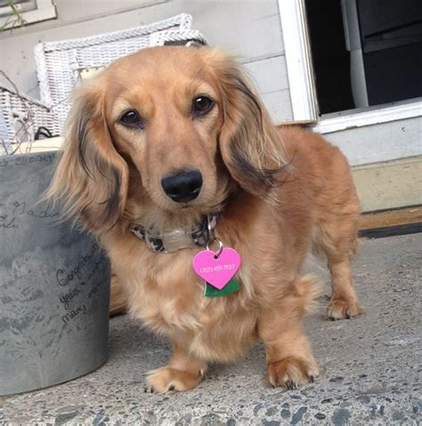 golden retriever weiner 25 best ideas about golden dachshund on dachshund mix hair daschund